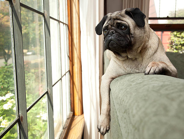 Dog sits on couch and looks longingly outside stock photo