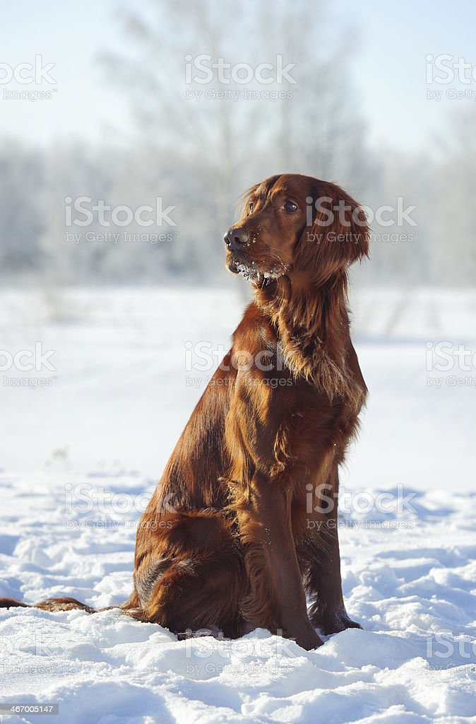 dog sits on snow stock photo