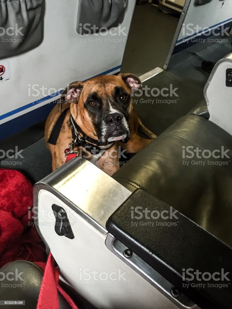 dog sits on the floor in an airplane stock photo