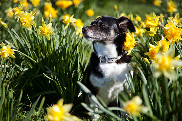 Hund sitzen neben Narzissen in den Frühling – Foto