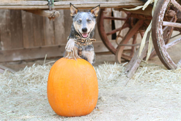 Dog Sitting by Pumpkin with Paw on Top stock photo