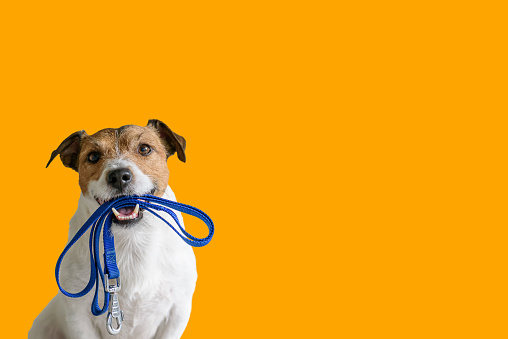 Dog sitting concept with happy active dog holding pet leash in mouth ready to go for walk