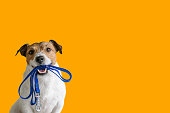 Jack Russell Terrier against color background holding leash