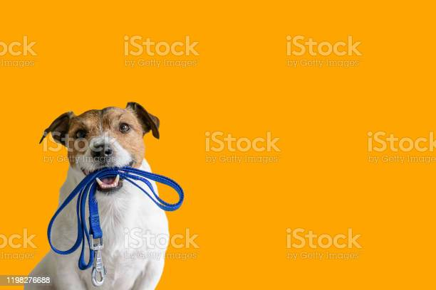 Dog sitting concept with happy active dog holding pet leash in mouth picture id1198276688?b=1&k=6&m=1198276688&s=612x612&h=ergyaqcnf0atw6moca8m7bishxwb75sq93bmenoqble=