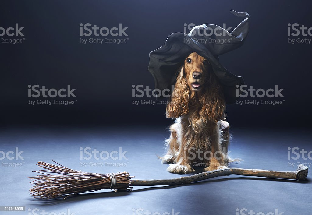 dog sitting in a witches hat stock photo