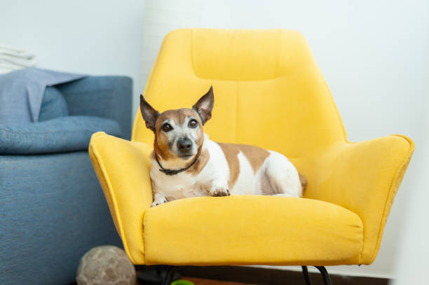 Dog sitting in armchair at home stock photo