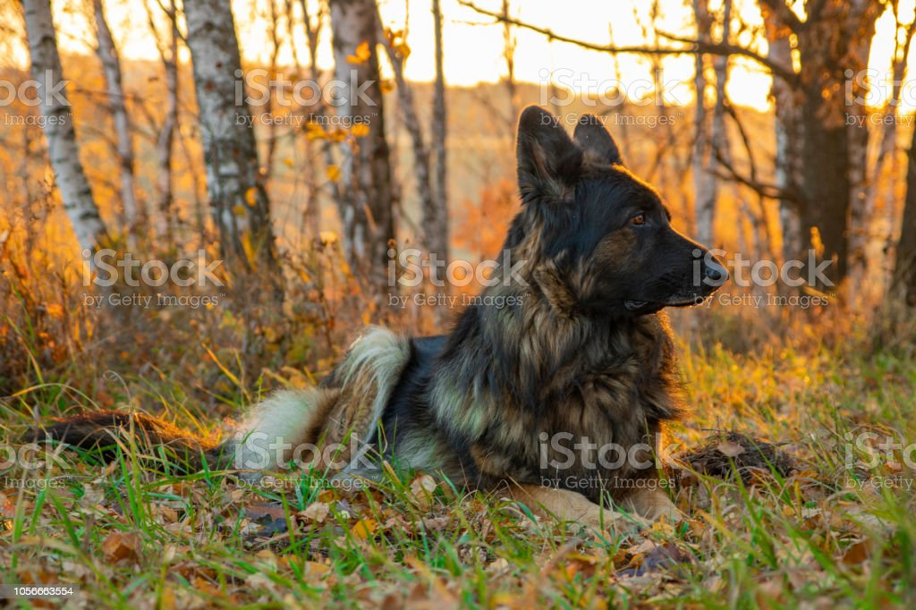 dog sitting in autumn forest. The sunset and falling leaves. Portrait of a shepherd stock photo