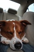 Dog sitting in the car border collie terrier mix