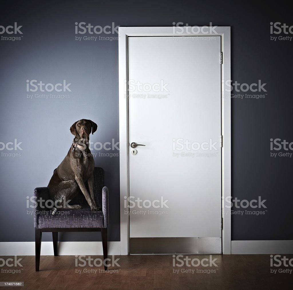 Dog sitting on a chair looking at camera stock photo