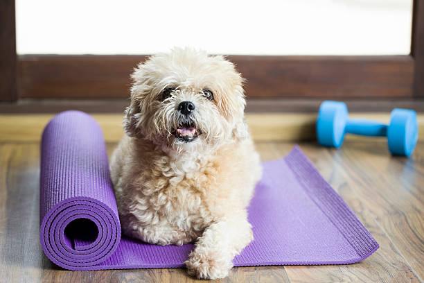 Dog sitting on a yoga mat picture id491775458?b=1&k=6&m=491775458&s=612x612&w=0&h=mdsn542tq7gbt obogwxrhiznbltggj4vajy3et8mdq=