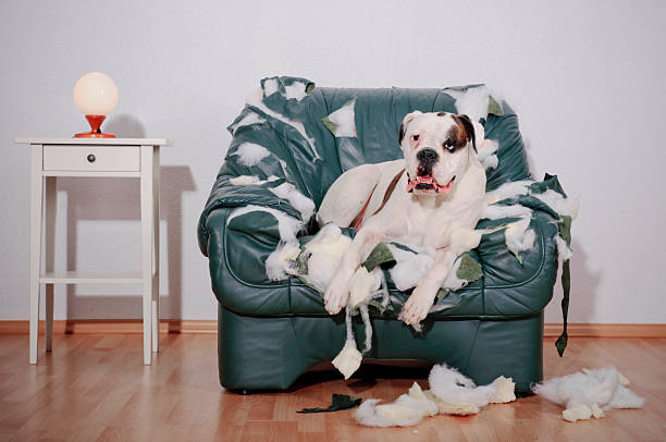 Dog sitting on chewed up leather chair picture id155359273?b=1&k=6&m=155359273&s=612x612&w=0&h=jfbhxiwsmkksykkwqxgchllvn7ihumcuce is16yqzm=