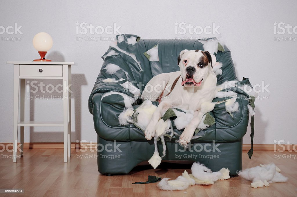 Dog sitting on chewed up leather chair stock photo