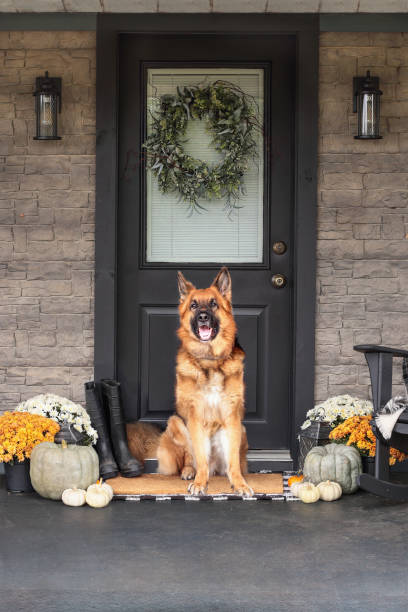 Dog Sitting on Front Porch Decorated for Thanksgiving Day German Shepherd dog sitting on front porch decorated for Thanksgiving Day with homemade wreath hanging on door. Heirloom gourds,  white pumpkins, rainboots and mums giving an inviting atmosphere. thanksgiving pets stock pictures, royalty-free photos & images