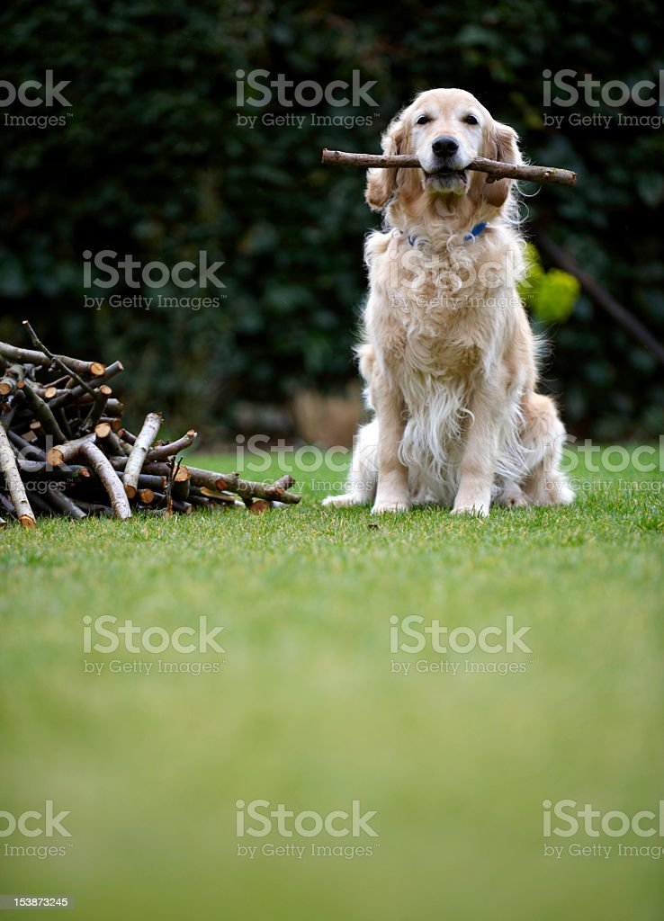 Dog sitting on grass holding stick in mouth (selective focus) Dog sitting on grass holding stick in mouth (selective focus) Animal Themes Stock Photo
