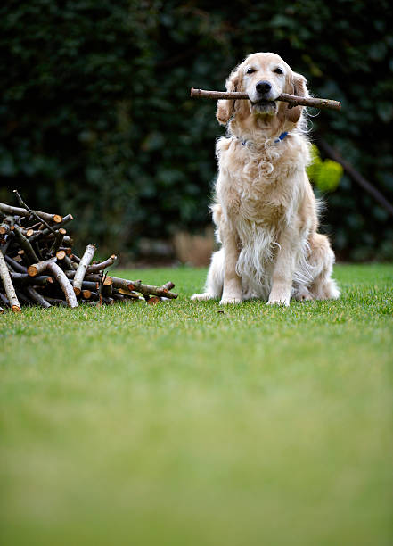 Dog sitting on grass holding stick in mouth (selective focus) stock photo