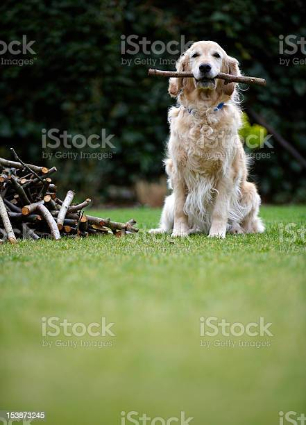Dog Sitting On Grass Holding Stick In Mouth Stock Photo - Download Image Now
