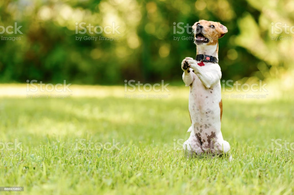 Dog sitting on hind legs begging with paws in praying gesture stock photo