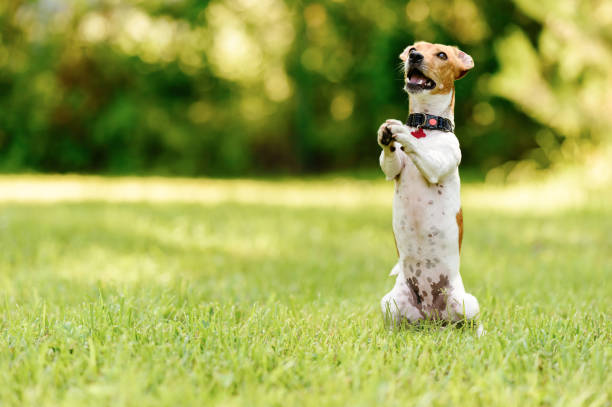 Dog sitting on hind legs begging with paws in praying gesture Jack Russell Terrier sitting at green grass lawn on rear paws pleading stock pictures, royalty-free photos & images