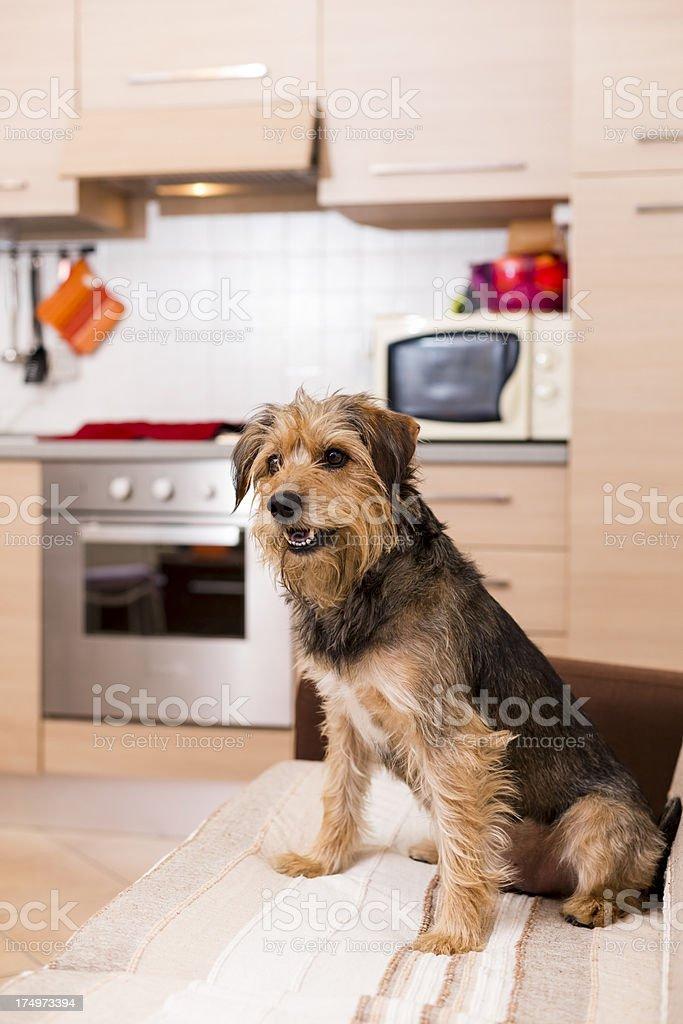 Dog sitting on sofa royalty-free stock photo