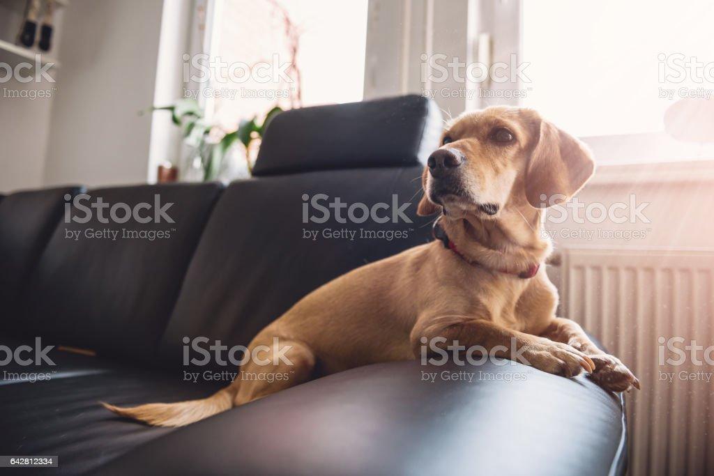 Dog sitting on sofa stock photo