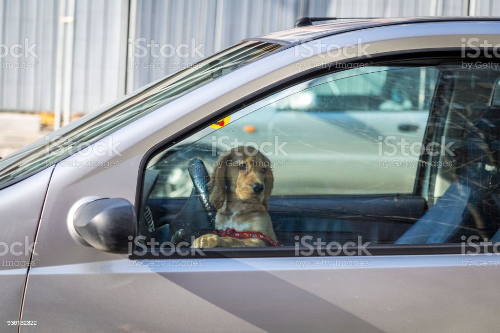 dog sitting on the front seat of a car and trying to drive.dog driving a car. stock photo