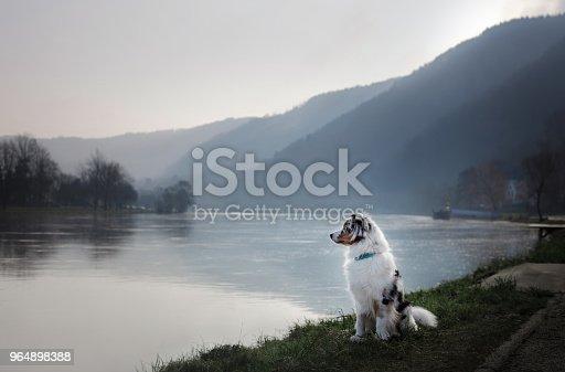 Dog sitting on the promenade near the river. Australian Shepherd in nature