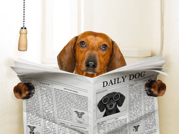dog sitting on toilet funny   sausage dachshund dog sitting on toilet and reading magazine or newspaper with constipation poop stock pictures, royalty-free photos & images