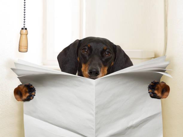 hund sitzt auf toilette - durchfall beim hund stock-fotos und bilder