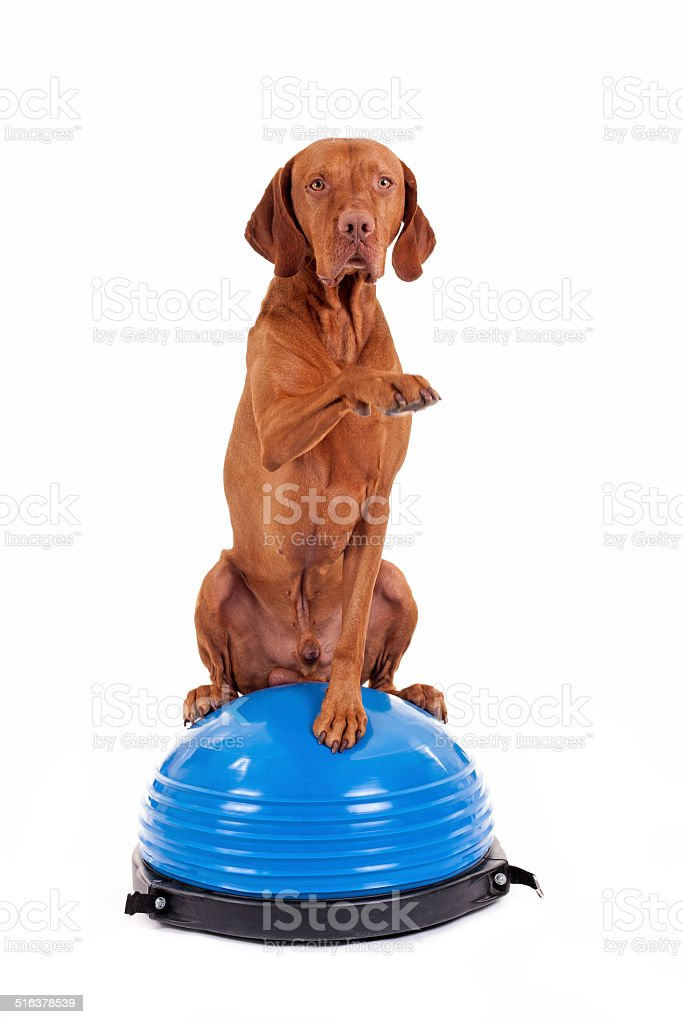 dog sitting on top of exercise ball stock photo