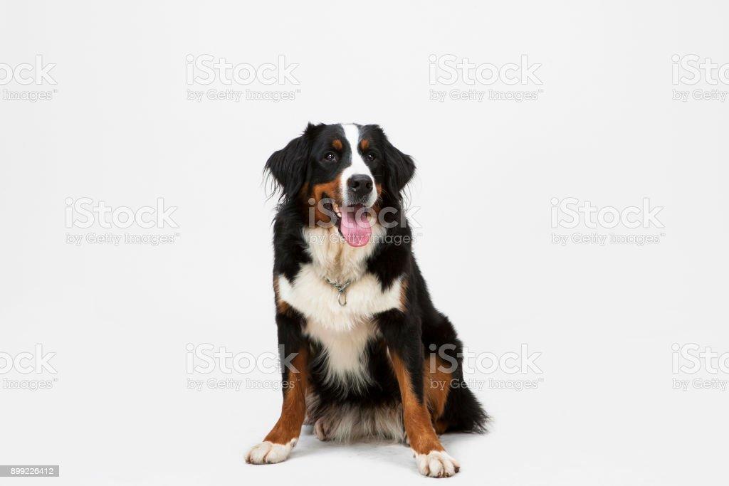 Dog Sitting on White Background. stock photo