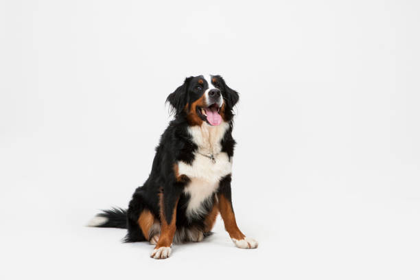 Dog sitting on white background picture id899226416?b=1&k=6&m=899226416&s=612x612&w=0&h=bo8efh6mpxhoivwabv6fw ekf3v5siiqp urfb7kn7c=