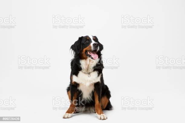 Dog sitting on white background picture id899226426?b=1&k=6&m=899226426&s=612x612&h=4qk5np zzcnouztxc6tsm4z9xuhki47 jkcbr16h gu=