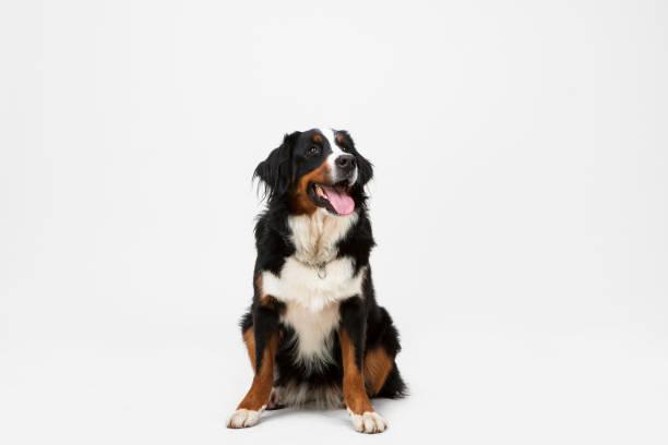 Hundesitting auf weißem Hintergrund. – Foto