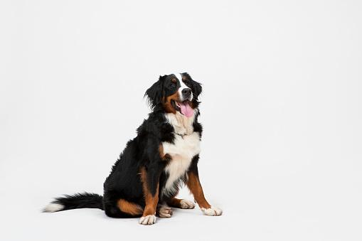 Dog Sitting on White Background.