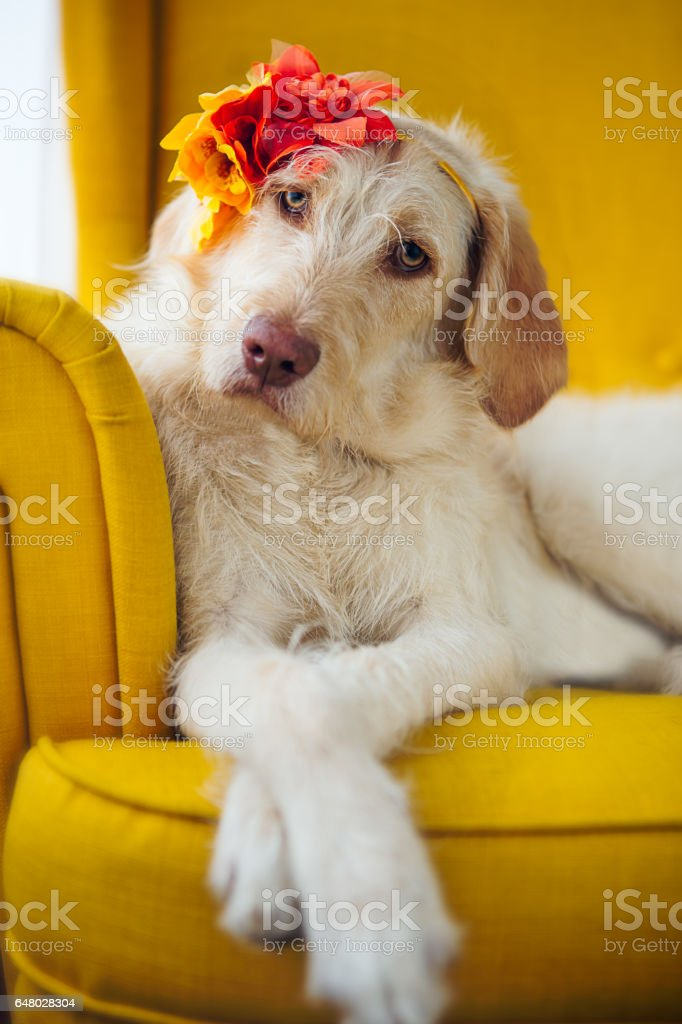Dog sitting on yellow chair stock photo
