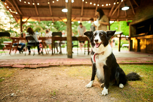 Border collie sitting outside on a some grass with his family having a dinner party at a table in the background