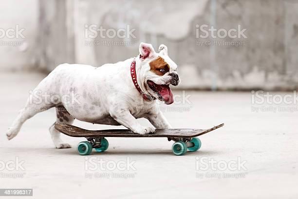 Dog skateboarding picture id481998317?b=1&k=6&m=481998317&s=612x612&h=kjkcrpahz ji3fclbrn9vsjy7ebm d5cxxxcit7zwtq=