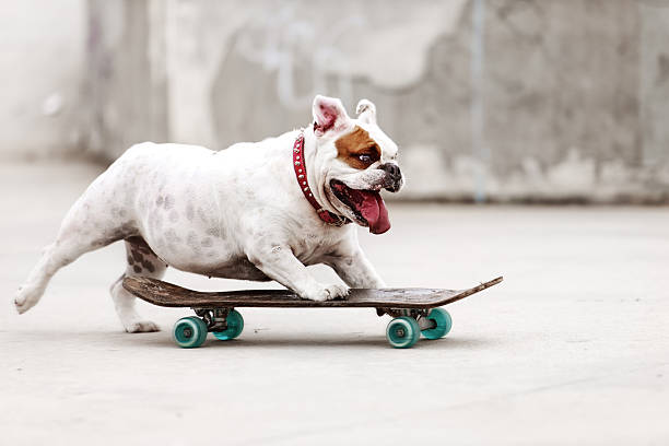 dog skateboarding - humor stock photos and pictures