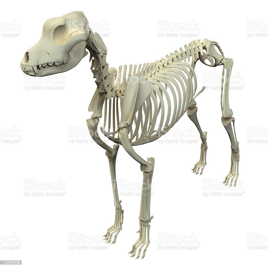Hund Knochen Anatomieanatomie Des Männlichen Hund Skelett Stock ...