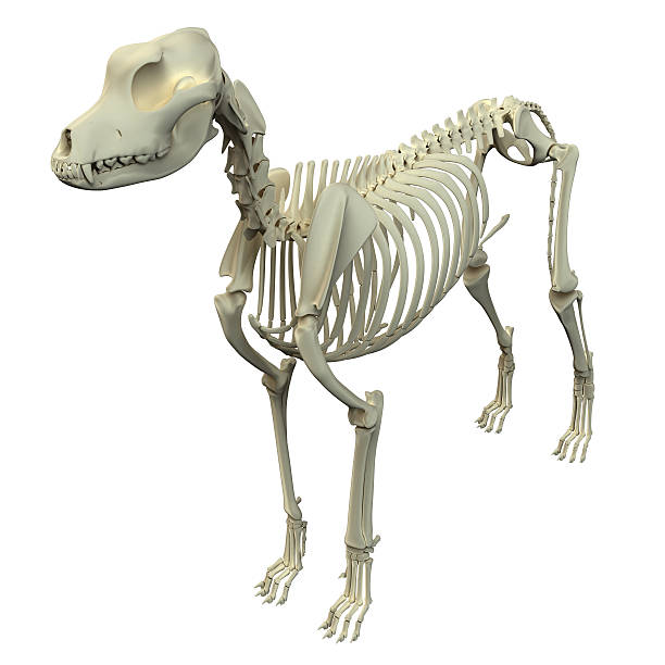 Royalty Free Dog Skull Anatomy Pictures Images And Stock Photos
