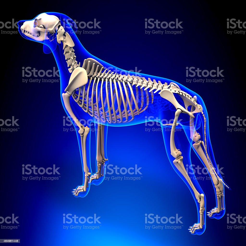 Hund Knochencanis Lupus Familiaris Anatomieperspektive Auf ...
