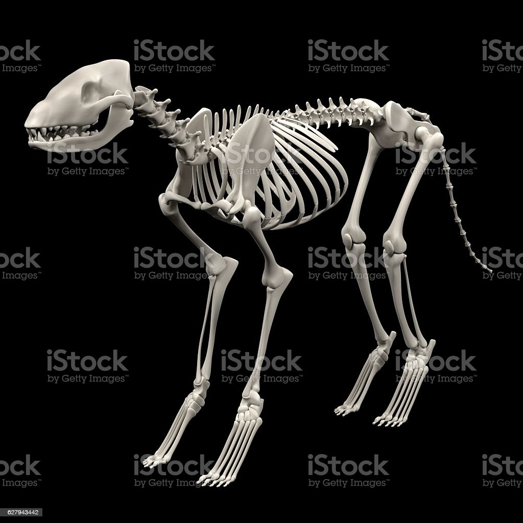 dog skeleton stock photo
