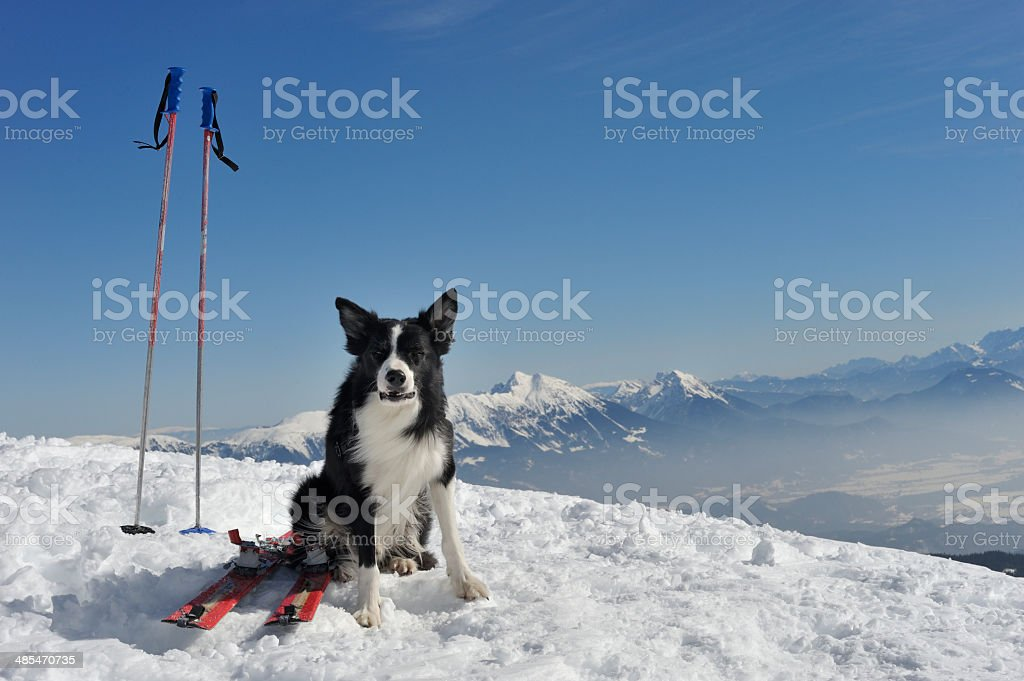 Dog skiing companion royalty-free stock photo