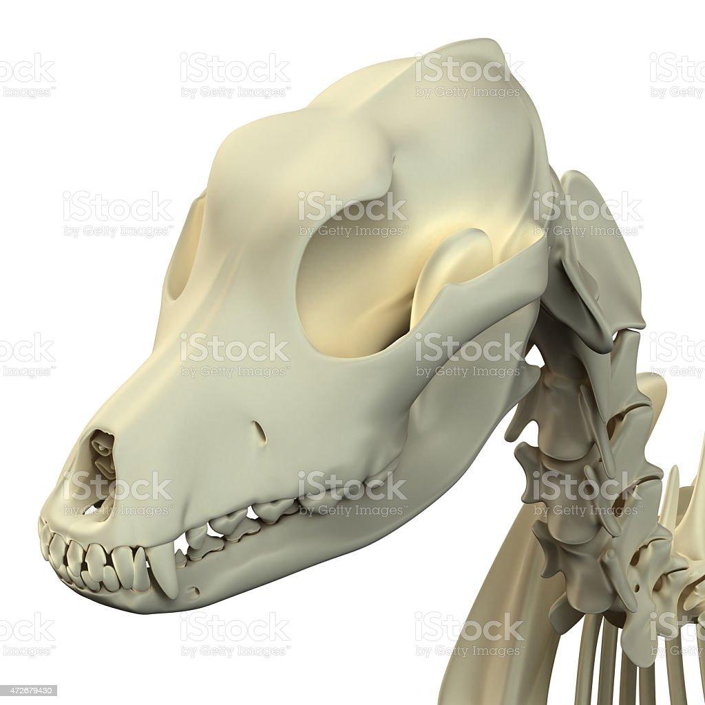 Hund Schädel Anatomieanatomie Des Männlichen Hund Totenkopf Stock ...