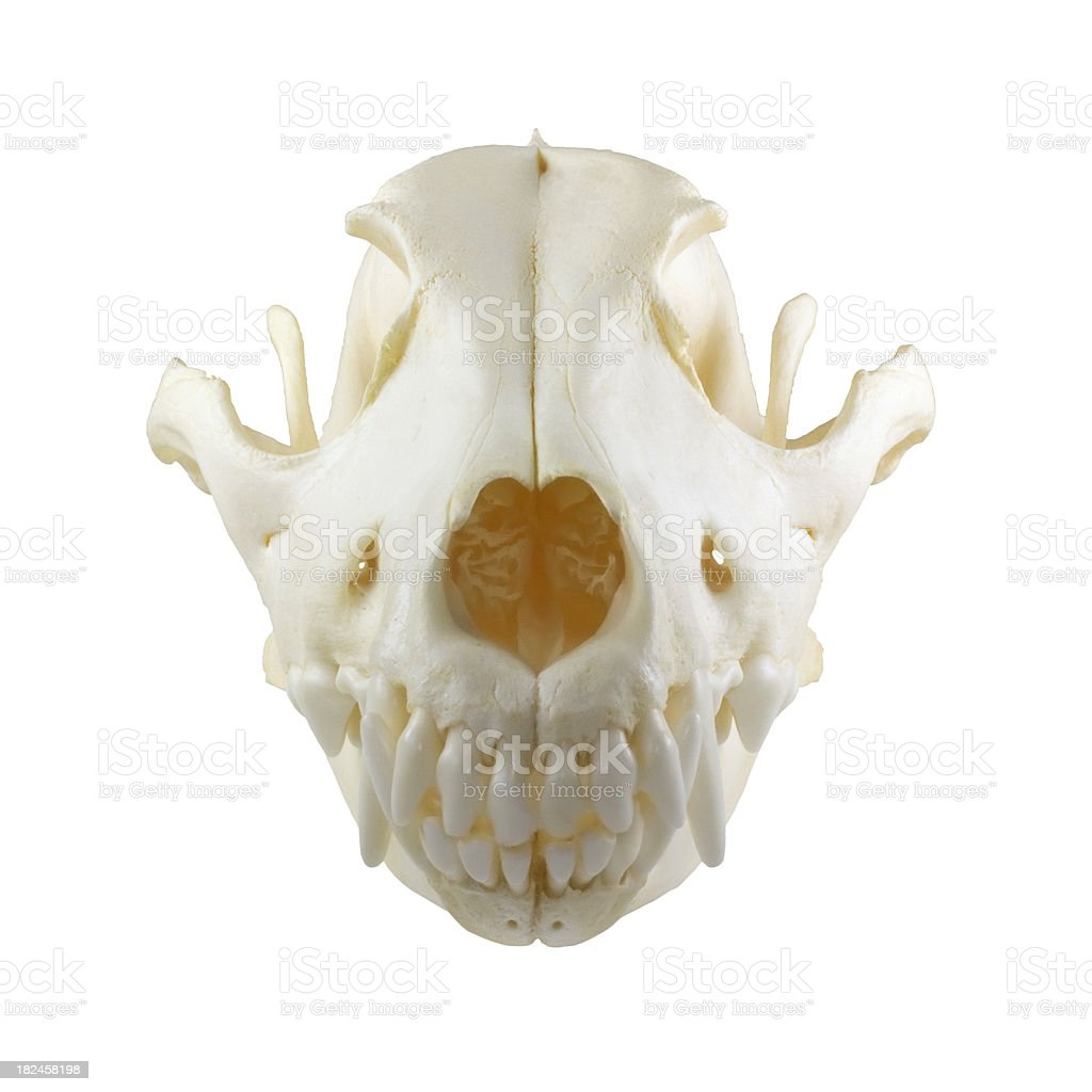 Dog Skull Front Stock Photo & More Pictures of Anatomy | iStock