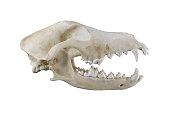 白い背景に分離された犬の頭骨