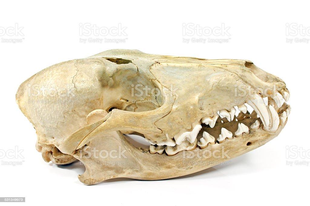 Dog skull isolated on white stock photo