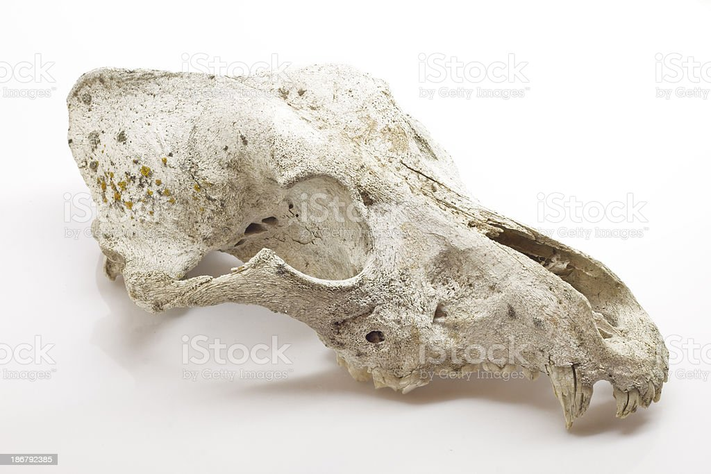 Dog Skull Stock Photo More Pictures Of Anatomy Istock