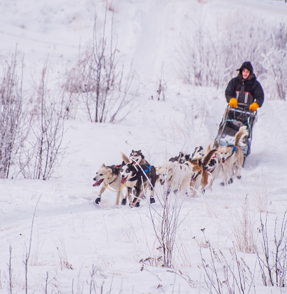 Glennallen, Alaska, USA, January 8, 2021 Alaska Musher guides dogs on the trail as they begin the long race through snow, trees, and all that the Copper Basin trail puts before them. The temperatures and challenges of the trail made this 300 mile race a true test for both dogs and mushers.  This race is a preliminary race for the Iditarod race.