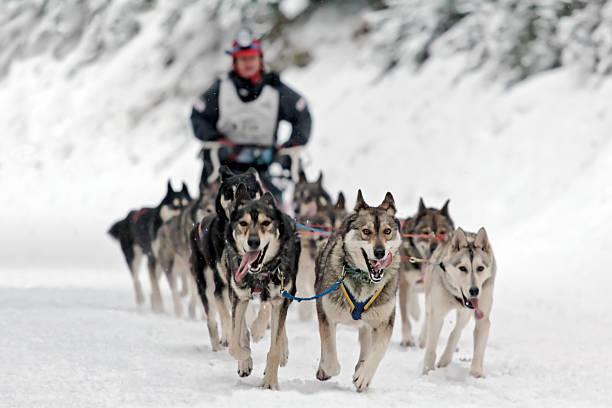 Dog sledding competition Dog sledding competition. sled dog stock pictures, royalty-free photos & images